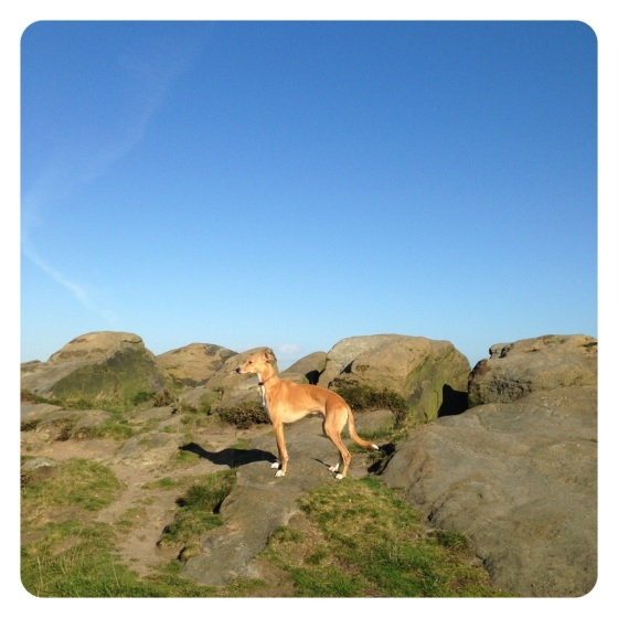 Lurcher at Otley Chevin