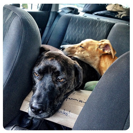 Dogs in the car on move day