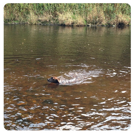 Swimming dog in the River Wharfe