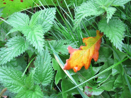 Fallen golden leaf in nettles, Otley, Yorkshire