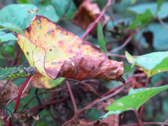 Curly autumn leaf, Otley, Yorkshire