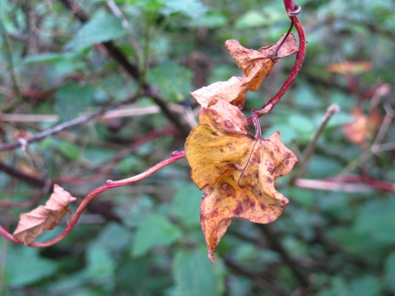 Golden vine leaf, Otley, Yorkshire
