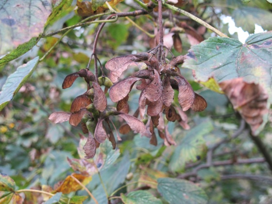 Sycamore glider seeds, autumn, fall