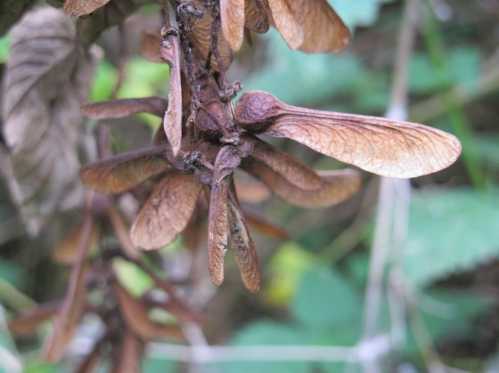 Like a perching dragonfly, sycamore seeds