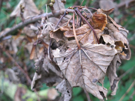 Gnarly dried leaves, autumn, fall