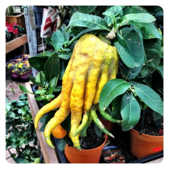 Buddha's Hand Lemon