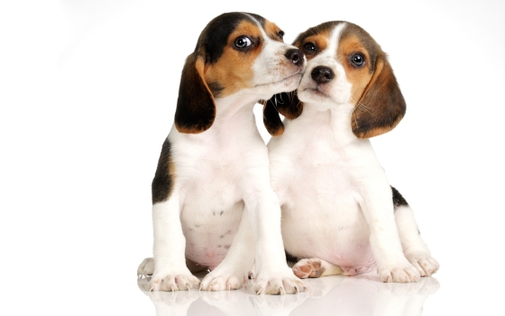 beagle-dogs-pictures