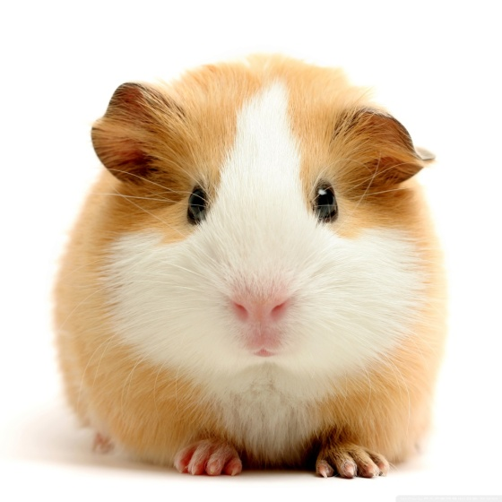 Guinea-Pig-Free-HD-Background-35